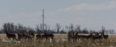 Whitetail Deer Herd