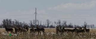 Whitetail Deer Herd
