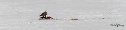 Eagle on deer carcass