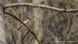 Cardinal @ backyard