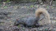 Blondie the squirrel