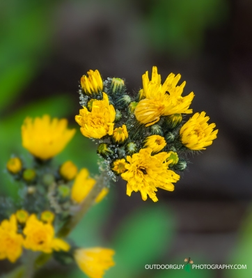 Yellow Hackweed