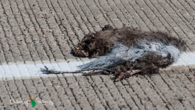 road kill stripped