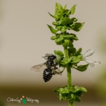 B&B - Basil & Bee